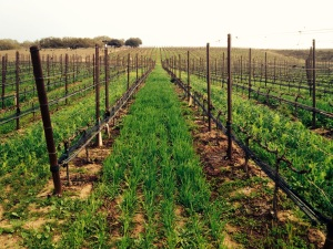 california wine vines