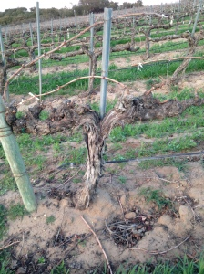 32-year-old Chenin Blanc grape vines